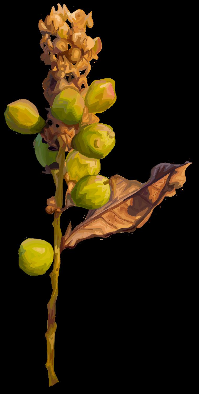 Frankincense Boswellia sacra