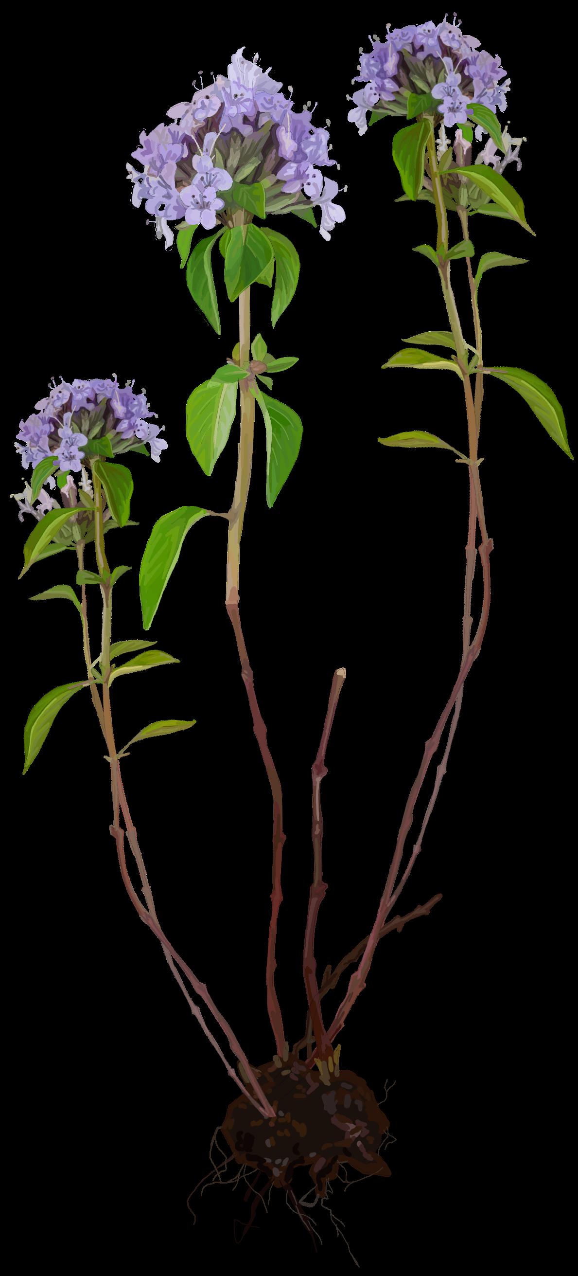 Thyme. Thymus vulgaris