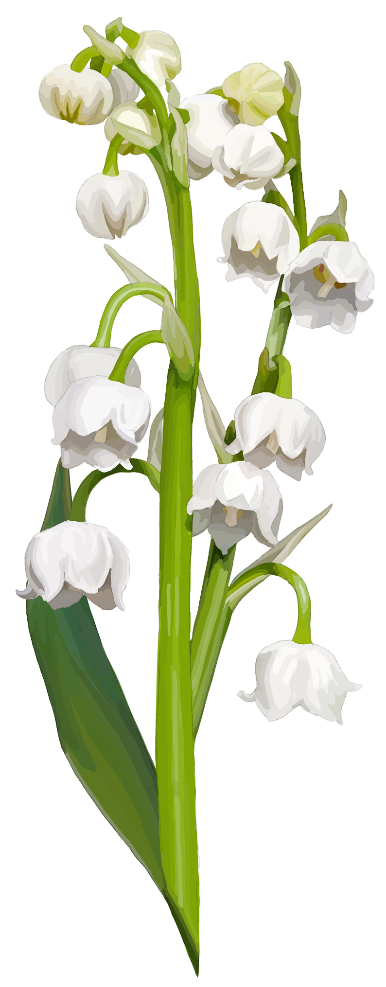 Lily of the valley. Convallaria majalis