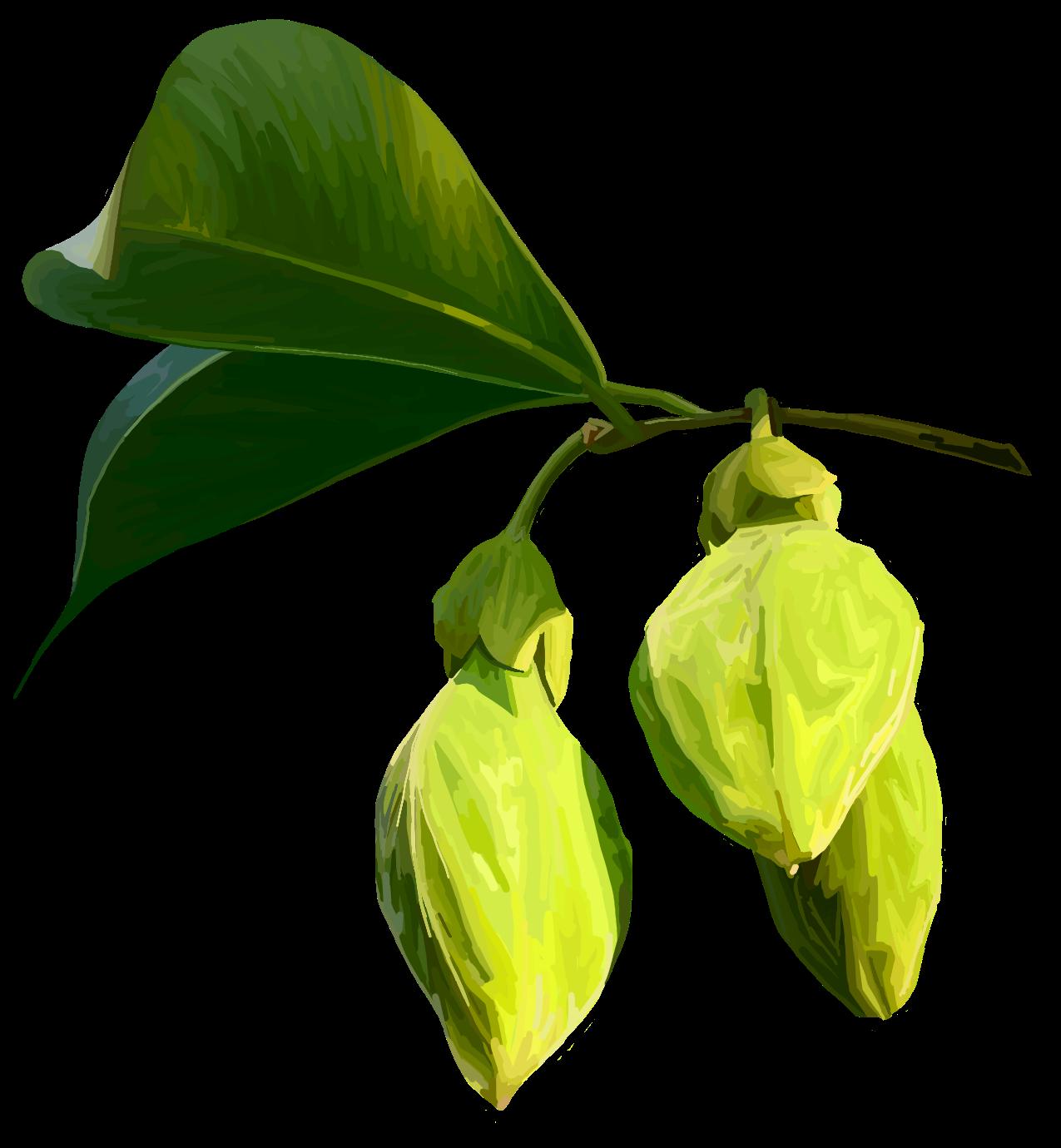 Agarwood. Aquilaria malaccensis
