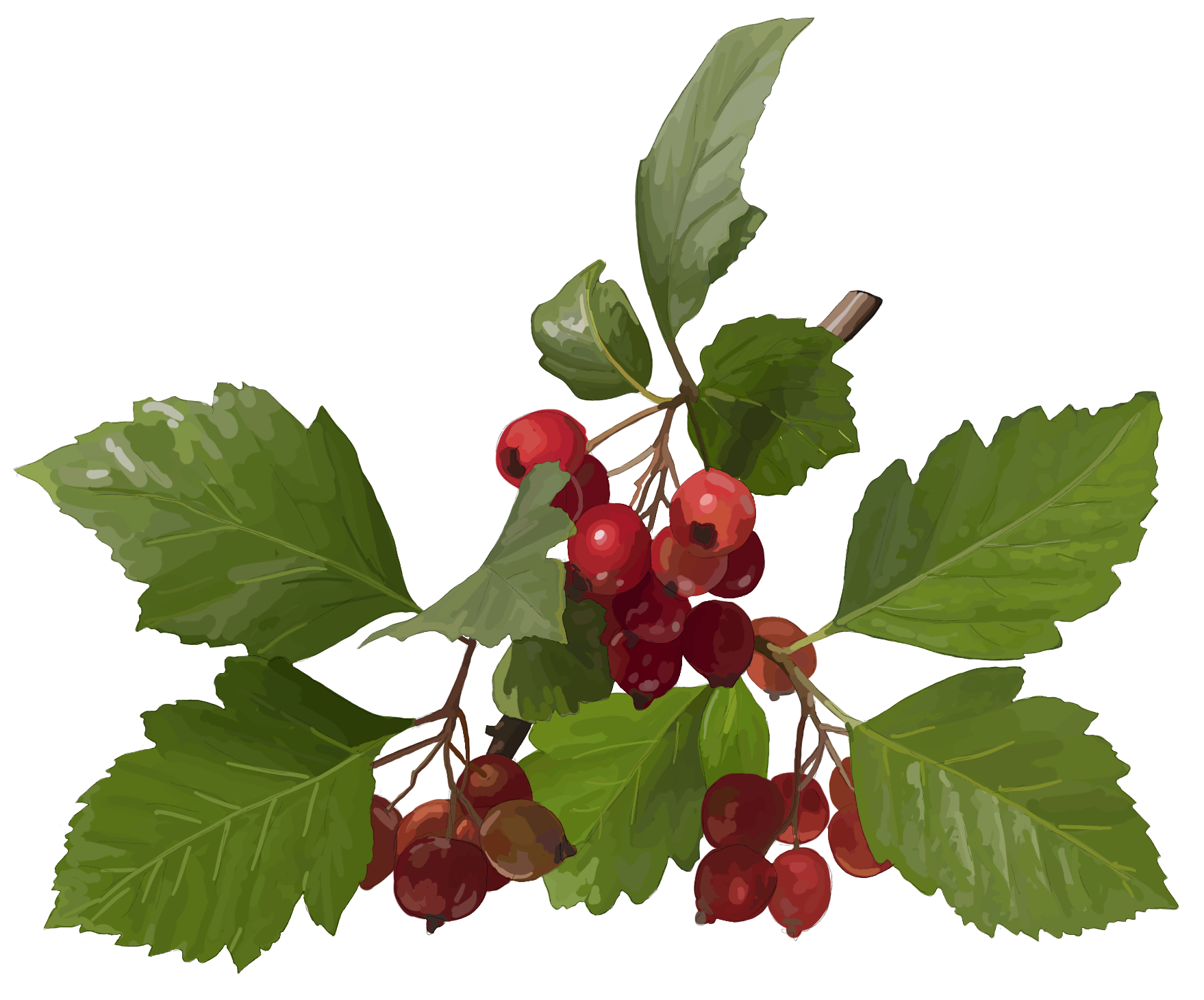 Hawthorn, red fruits with green leaves