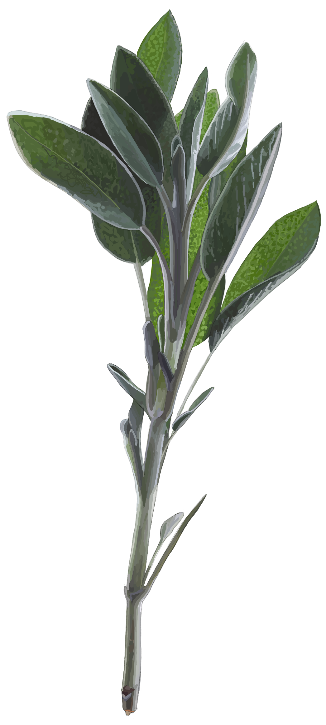 Sage. Salvia officinalis