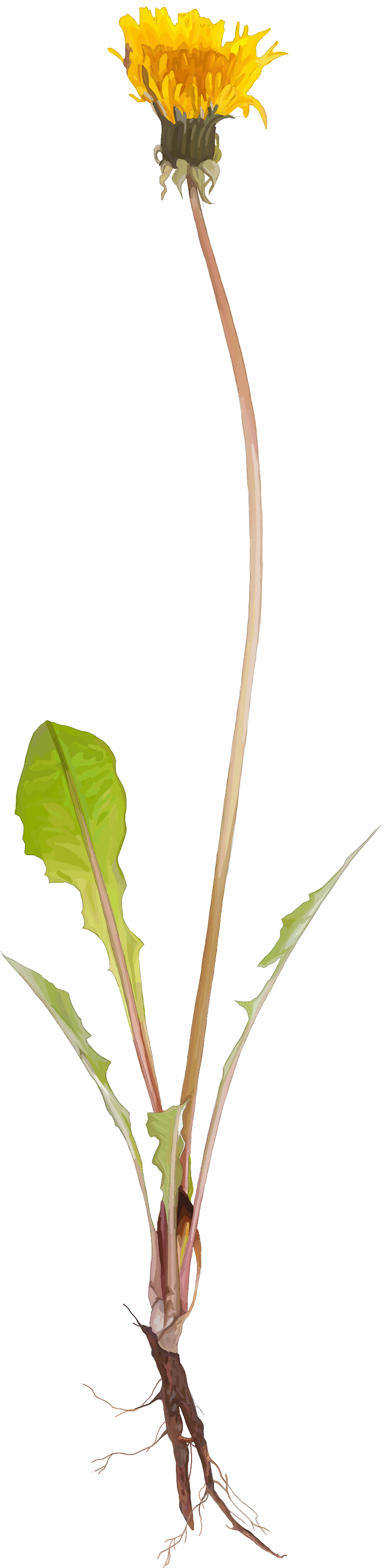 Dandelion. Taraxacum officinale