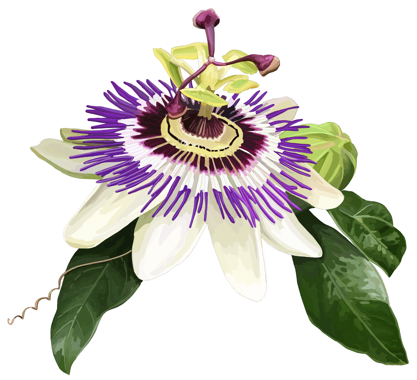 Passion flower. Passiflora incarnata