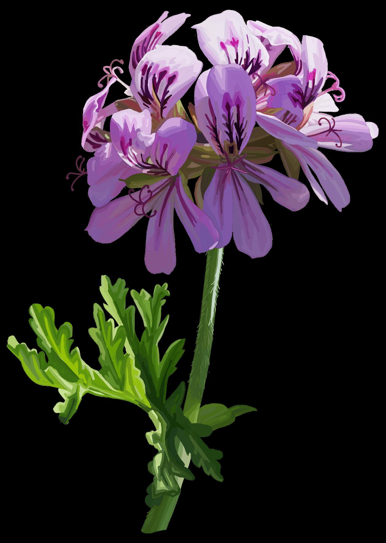 Geranium. Pelargonium graveolens