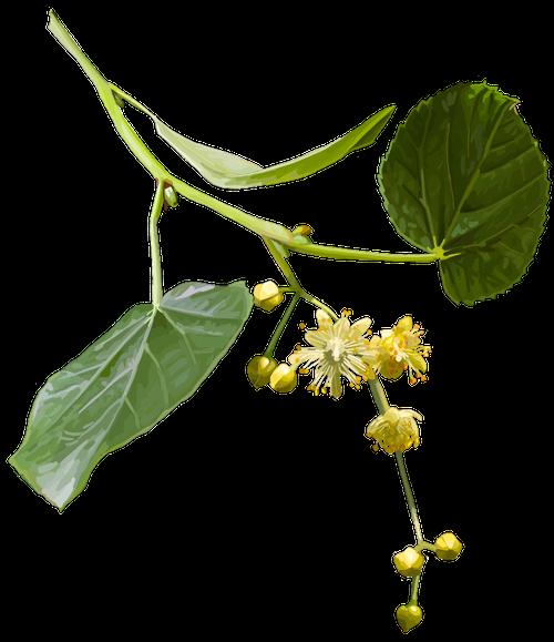 Lime blossom. Tilia cordata
