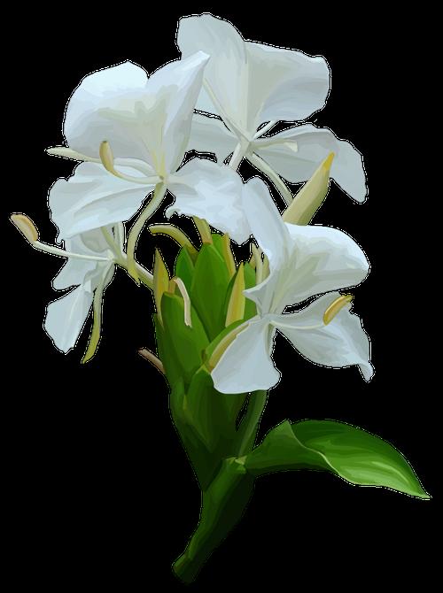 Gingerlily Hedychium coronarium