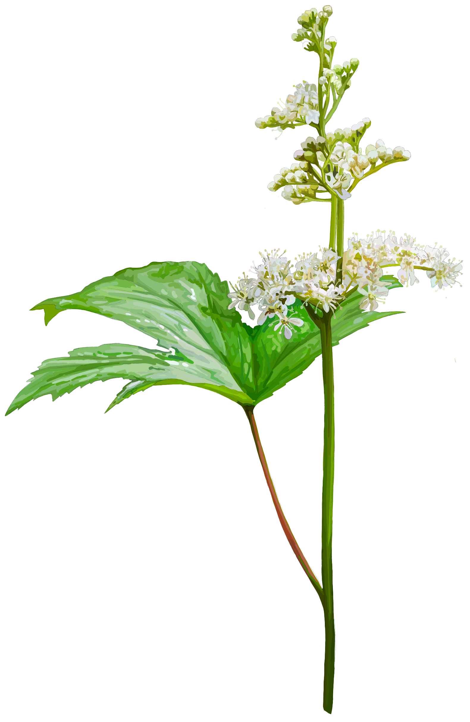 Meadowsweet. Filipendula urlmaria