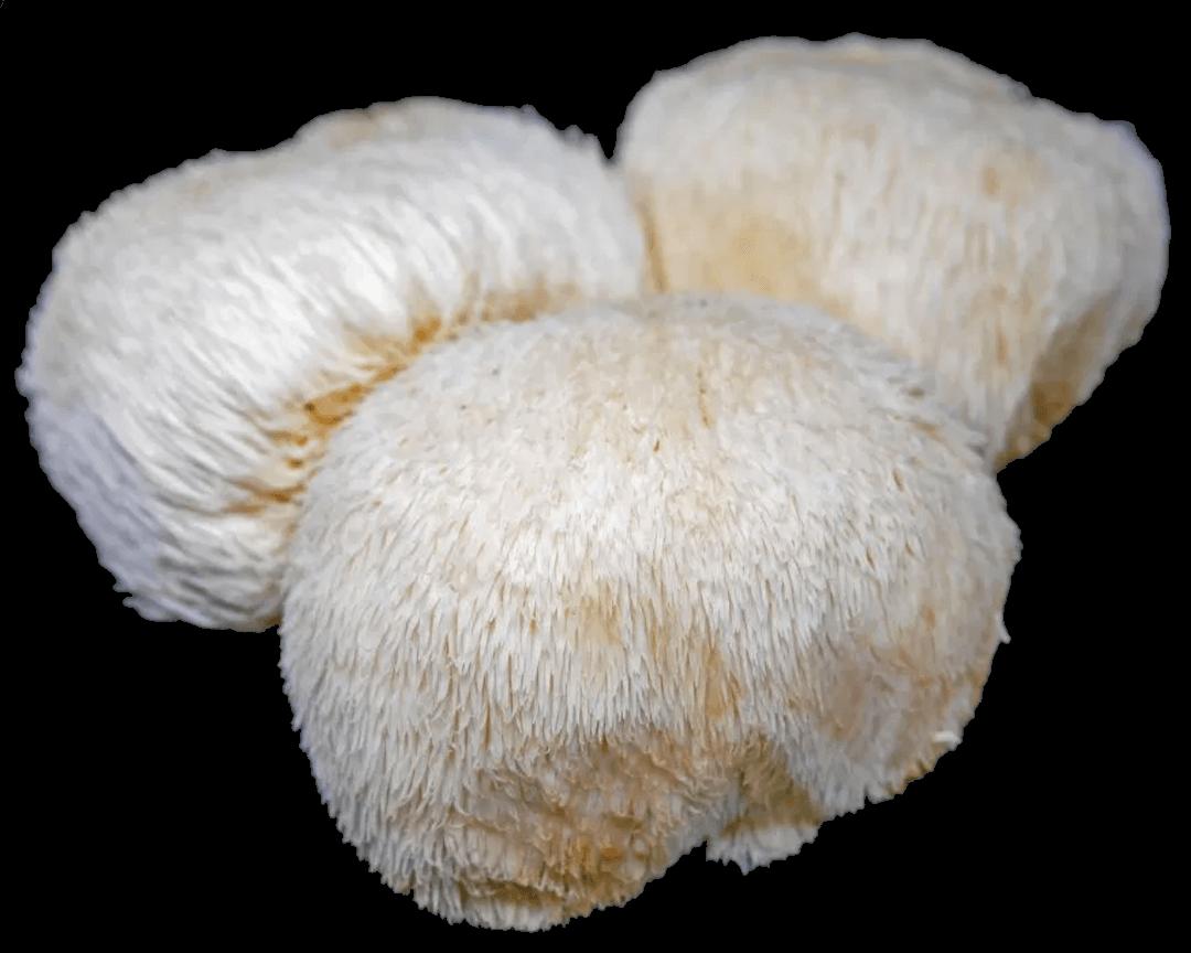 Lions mane. Hericium erinaceus.