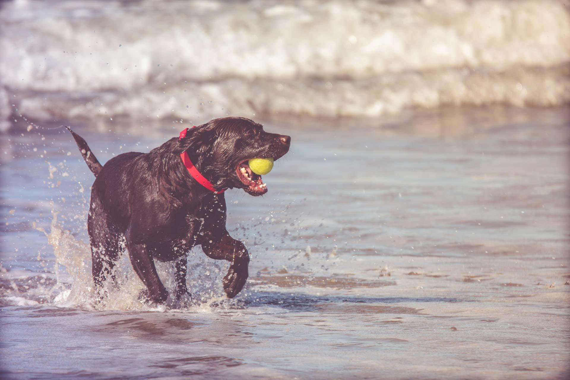 A Dog Playing In the Atlantic Ocean on Tilghman Island