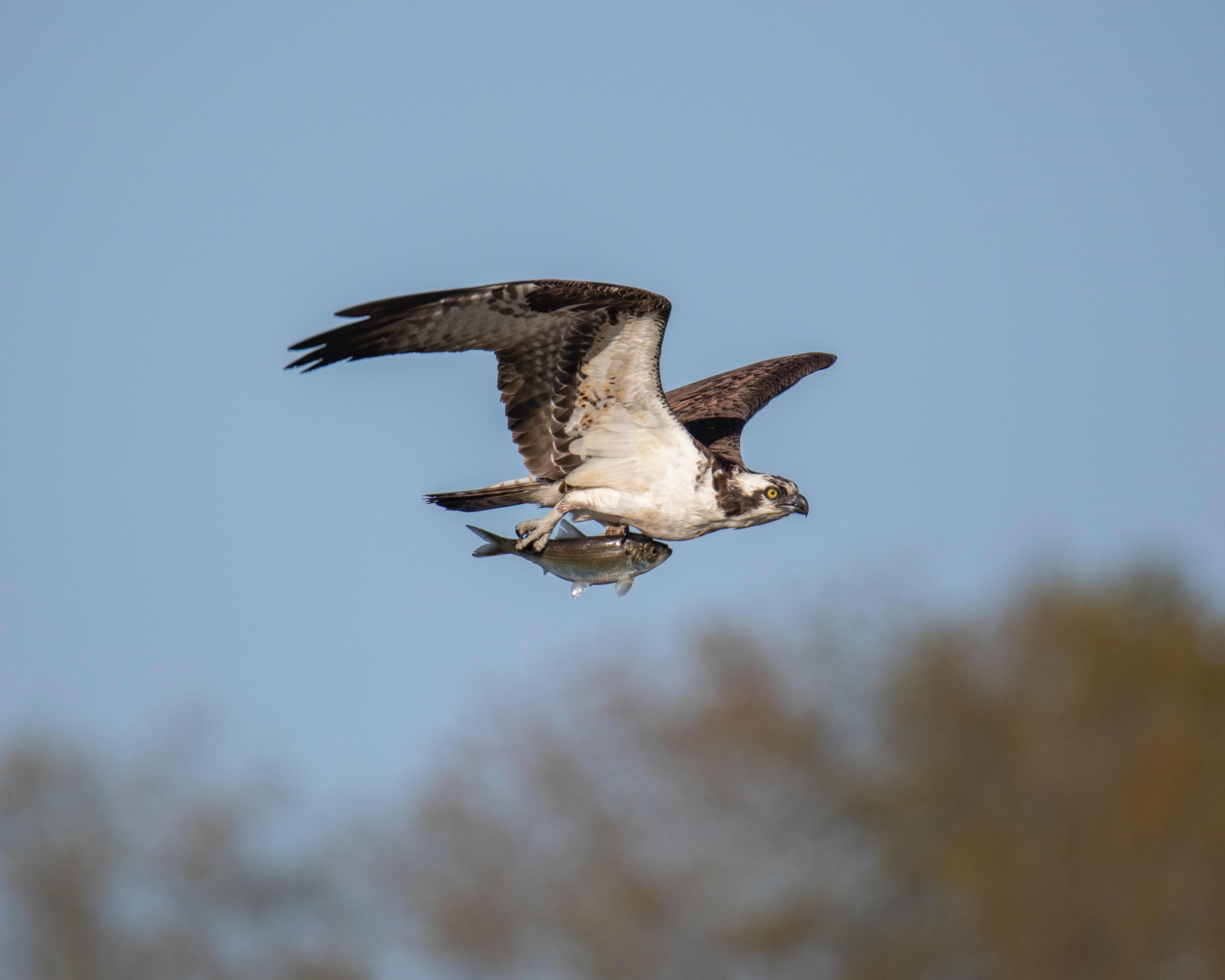Bird Flying Over Tilghman Island