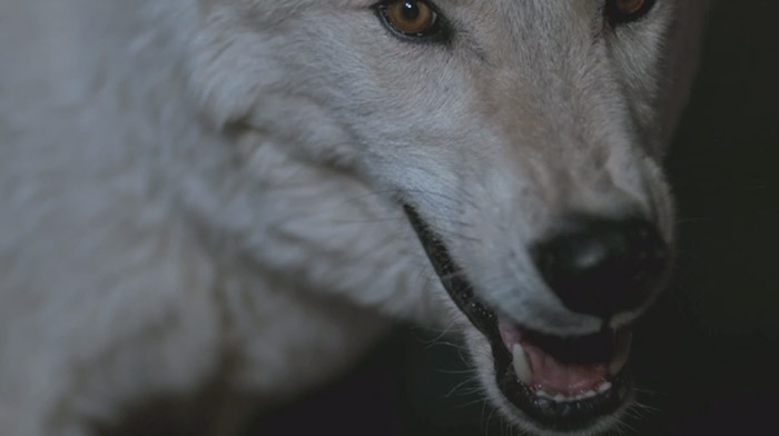 Stoli commercial still of white wolf