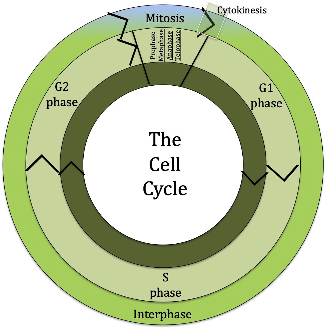 A diagram of cell cycle depting life of a cell in two rings. The outer ring shows life in interphase and mitosis followed by cytokinesis. The inner ring shows cell cycle phases like G1,  S and G2 followed by mitosis phases.