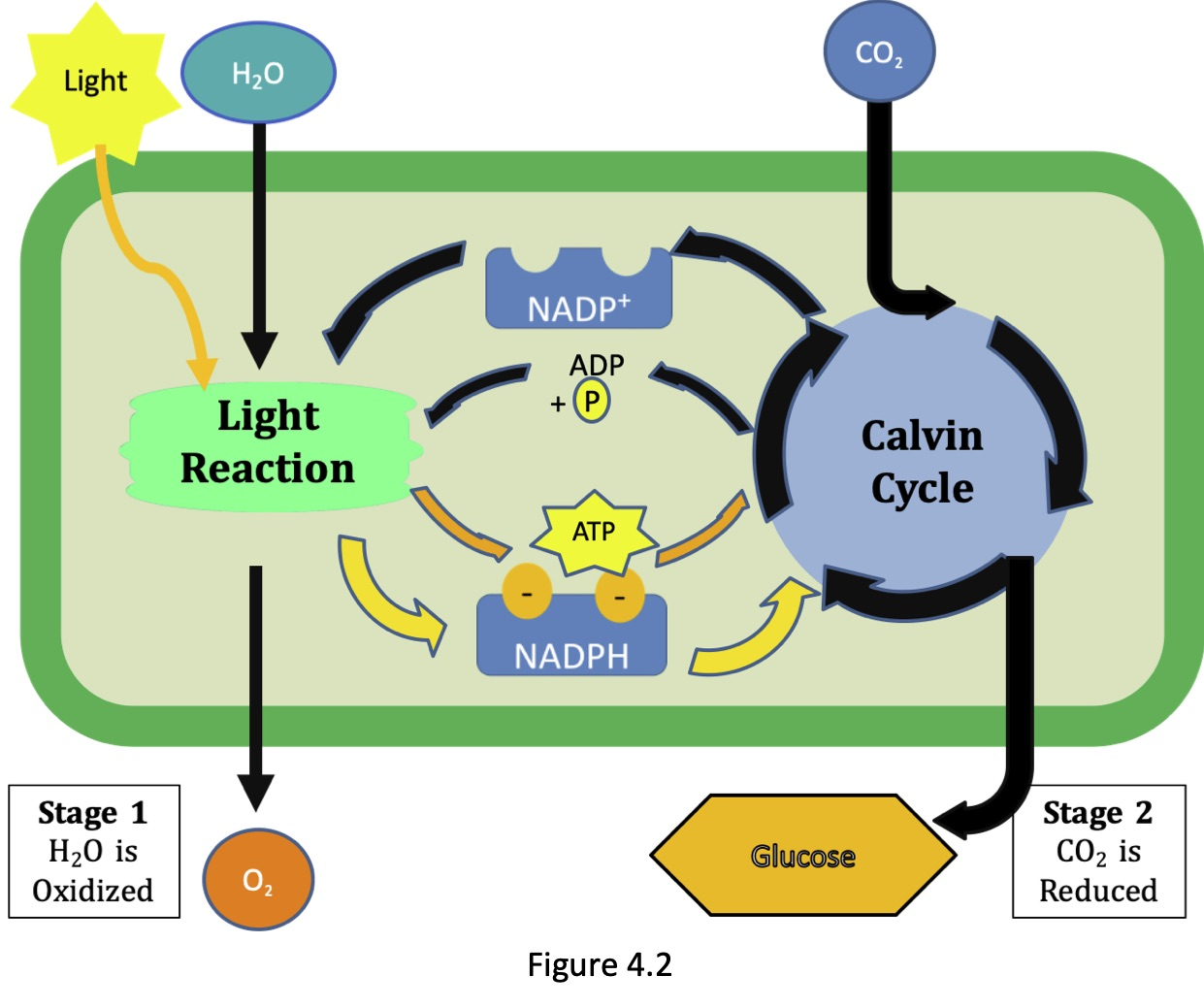 Figure 4.2 illustrates the two stages of photosynthesis in plants to manufacture a molecule of glucose. Stage 1 is the light reaction where the energy from the sun is used to oxidized water molecules thus splitting the water into molecules of oxygen, which is released into the air, and hydrogen molecules which are used to reduce NADP+ to NADPH. This stage also produces ATP. Stage 2 is the Calvin or the dark reaction, takes place in the absence of light, where carbon dioxide molecules are absorbed from air and combined with the hydrogen ions extracted from the water. The carbon dioxide is reduced to in the process producing glucose by using ATP and NADPH produced in the light reaction. The oxidized ADP and the NADP+ returns back to participate in the light reaction.