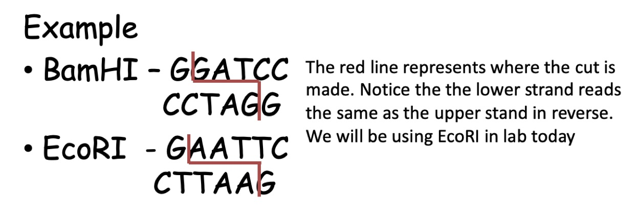 Image shows two Restriction enzymes, BamHI and EcoRI. The red line separating the nucleotide pairs represents where the cut is made. The BamHI restriction enzyme recognizes the sequence GGATCC and cuts between the two G's. EcoRI restriction enzyme recognizes the sequence GAATTC and cuts between the G and the A.