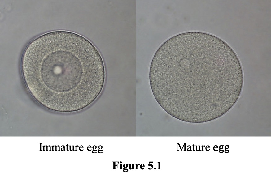 Figure 5.1 shows an immature egg with its large nucleus on the left and a mature egg with a very small nucleus on the right.