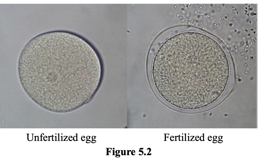 Figure 5.2 shows a mature unfertilized egg with its small nucleus on the left and a mature fertilized egg on the right. The mature fertilized eggs appears to be surrounded by a halo. We can also see many tiny sperm in the upper right and corner near the egg.