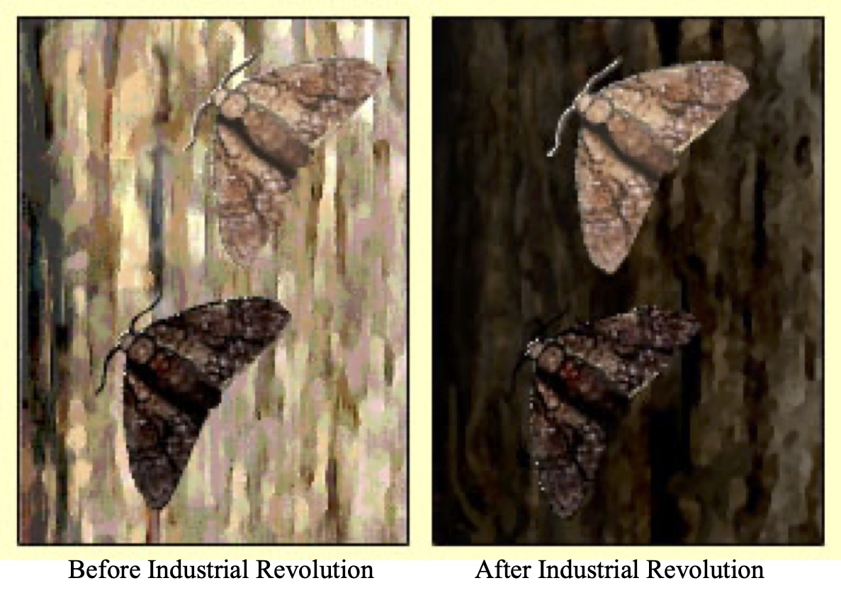 Image shows two color variants of the peppered moth on the bark of a tree before and then after the industrial revolution, Before the industrial revolution the black color variant is more obvious on the bark of the tree. After the industrial revolution the light-colored peppered moth is more obvious on the bark of the soot covered tree.