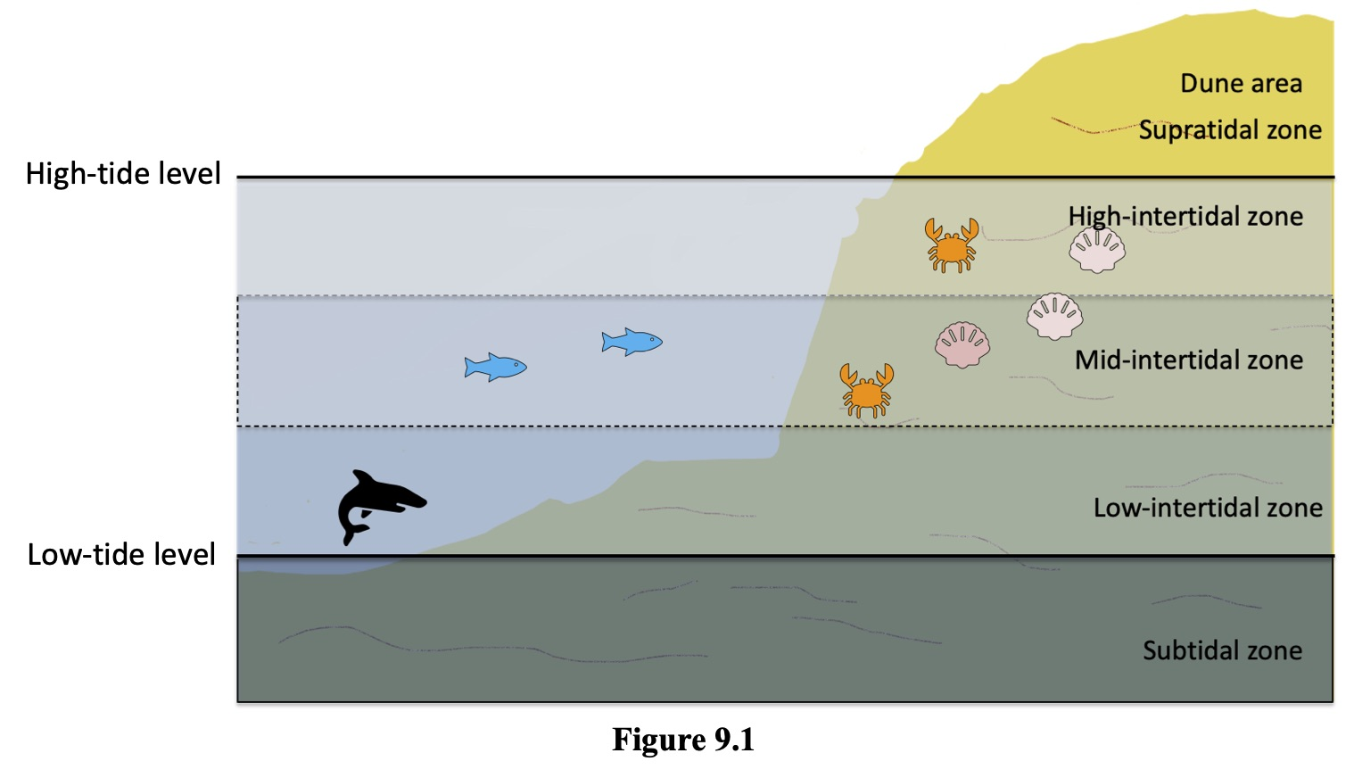 Figure 9.1 shows the subtidal zone below the low-tide level. The Low-tintertidal zone is above the low tide level. The Mid-intertidal zone is above the low-intertidal zone. The hight -intertidal zone is above the mid-intertidal zone and below the high-tide level. The supratidal zone is above the high-tide level. The dune area is above the supratidal zone.