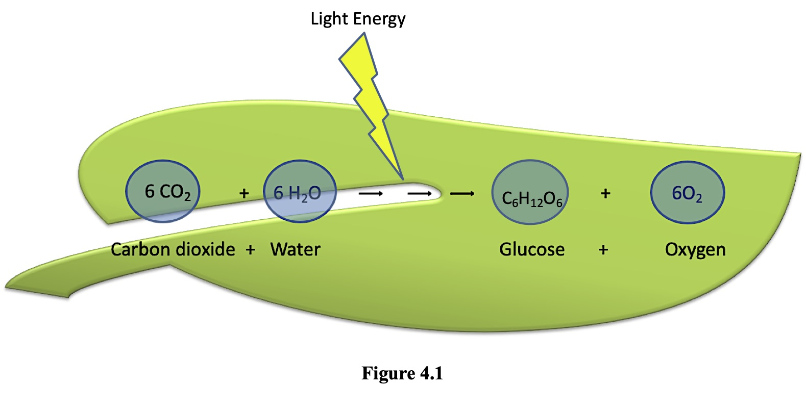 Figure 4.1 shows the overall reaction for photosynthesis in a plant leaf. The green pigments in the plant leaf capture light energy from the sun and combine 6 carbon dioxide from air with 6 water molecules to produce a glucose molecule and 6 oxygen molecules. The oxygen molecules are released into the air.