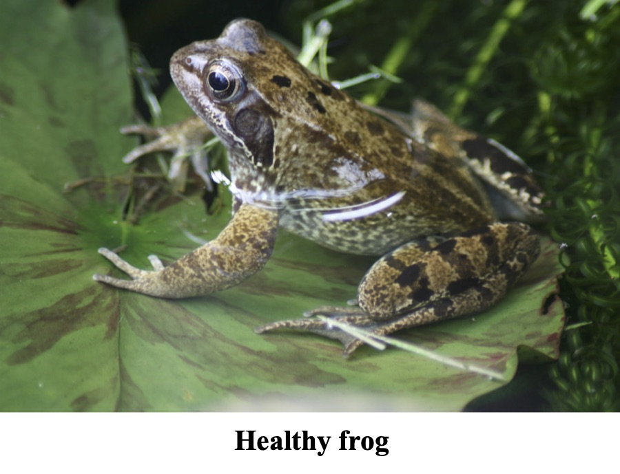 The picture shows a healthy frog sitting on a green leaf.
