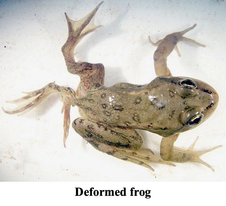 The picture shows a deformed frog with one extra hind limb.