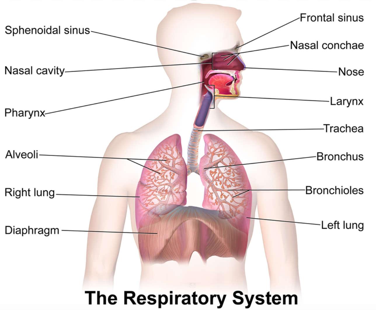 Image show the respiratory system. Animation shows a molecule of oxygen appearing from the right and entering the nose as the word nose enlarges and shrinks. The oxygen then enters the pharynx as the word pharynx enlarges and shrinks. The oxygen then enters into the larynx a as the word larynx enlarges and shrinks. The oxygen then enters the trachea as the word trachea enlarges and shrinks. The oxygen then enters the trachea as the word trachea enlarges and shrinks. The oxygen then enters the bronchus as the word bronchus enlarges and shrinks. The oxygen then enters the bronchioles as the word bronchioles enlarges and shrinks. The oxygen then enters the alveolar ducts as the word alveolar ducts enlarges and shrinks. Finally, the oxygen then enters the alveoli as the word alveoli enlarges and shrinks.