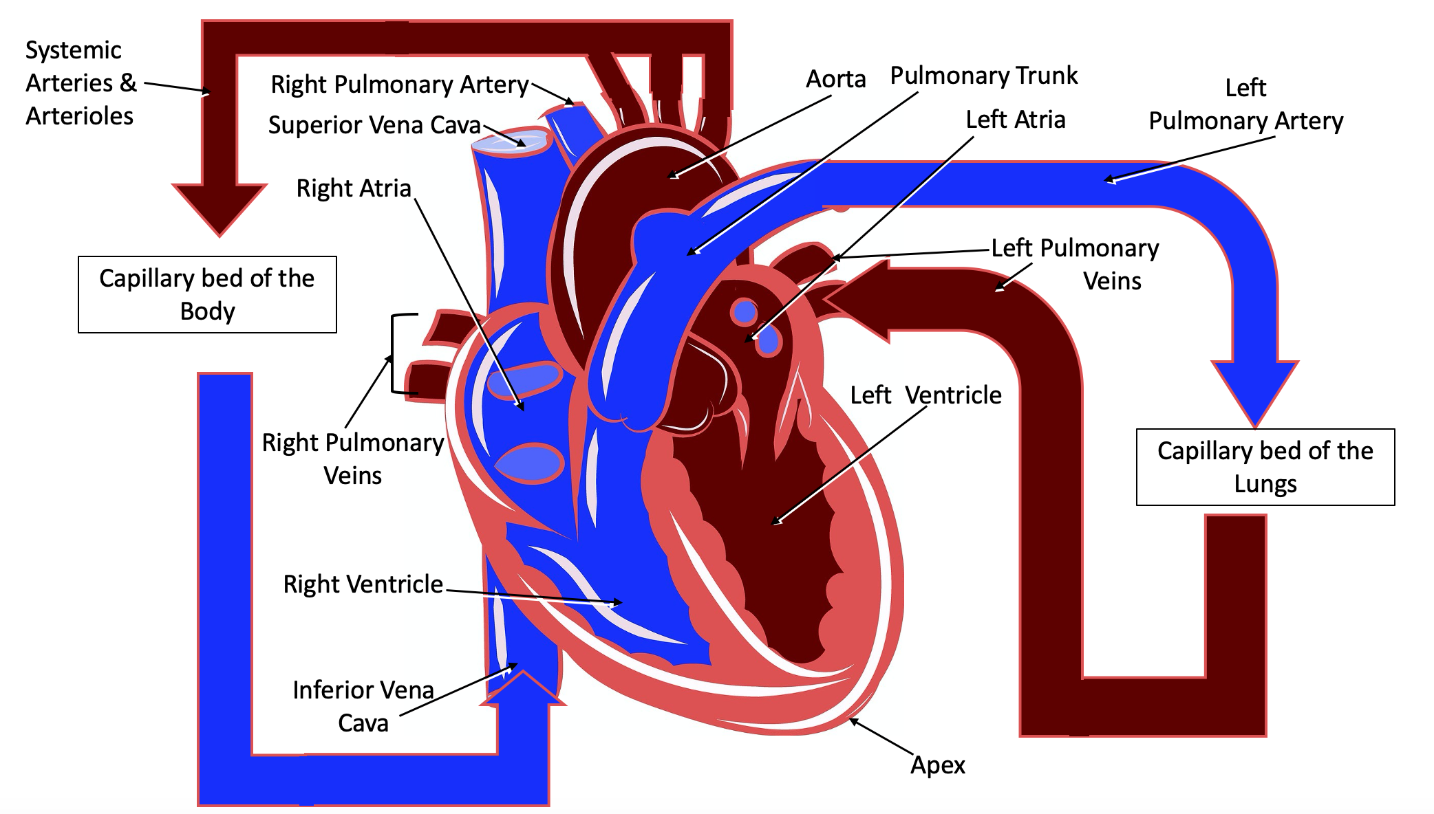 Image shows a ventral view of a human heart. The animation starts with a single red blood cell appearing in the blue right atria as the words right atria enlarge and shrink. The red blood cell moves into the blue right ventricle as the words right ventricle enlarge and shrink. The red blood cell then enters the blue pulmonary trunk as the words pulmonary trunk enlarge and shrink. The red blood cell then enters the left pulmonary artery as the words left pulmonary artery enlarge and shrink. The red blood cell then enters a box that reads capillary bed of the lungs as the words capillary bed of the lungs enlarge and shrink. The red blood cell then enters the red pulmonary veins as the words pulmonary vein enlarge and shrink. The red blood cell then enters the red left ventricle as the words left ventricle enlarge and shrink. The red blood cell then enters the red aorta as the word aorta enlarges and shrinks. The red blood cell then enters the red Systemic arteries and arterioles as the words systemic arteries and arterioles enlarge and shrink. The red blood cell then enters a box that reads capillary bed of the body as the words capillary bed of the body enlarge and shrink. The red blood cell then enters the blue Systemic venules and veins as the words systemic venules and veins enlarge and shrink. The red blood cell then enters the blue inferior vena cava as the words inferior vena cava enlarge and shrink. Finally the red blood cell returns to the blue right atria where it started.
