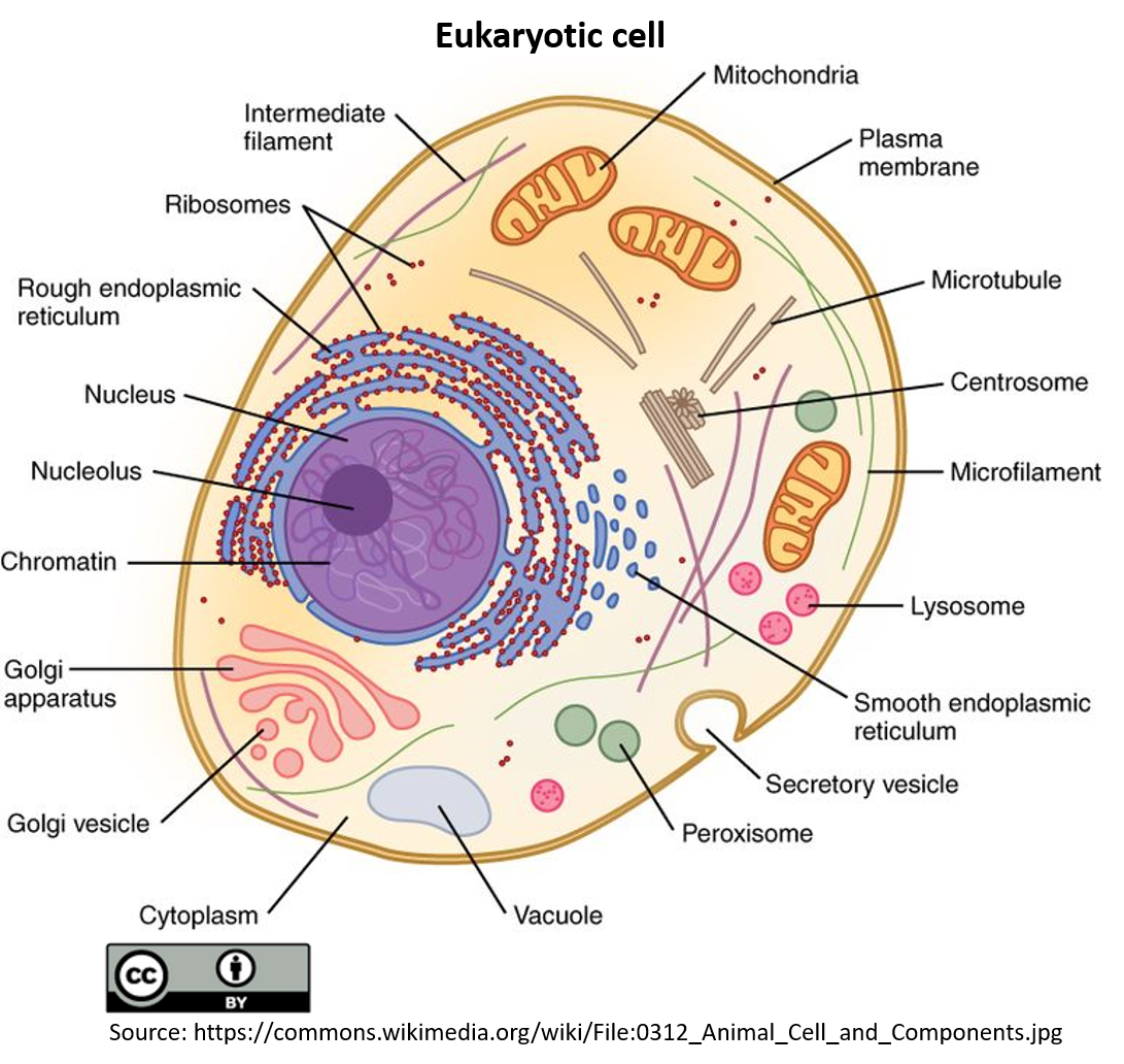 A diagram of an oval shaped 2-dimensional animal cell showing nucleus and various organelles within. From inside to outside of the cell; at the center of the cell lies the membrane covered circular nucleus. At the periphery of the nuclear membrane which covers the nucleus, there are flat stacked endoplasmic reticulums (ER). The ones with ribosomes are the rough ER are without are the smooth ER. The golgi appears as flat stacked structures with ends facing towards the plasma membrane. The lysosomes are round structures scattered in the cytoplasm. Many bean-like structures with seriated inside are the mitochondria. The centrosomes are two tube-like structures in the cytoplasm. Bean like fluid filled structures are the vacuoles. In the cytoplasm the thread and string like structures scattered around are intermediate filaments and microtubules.
