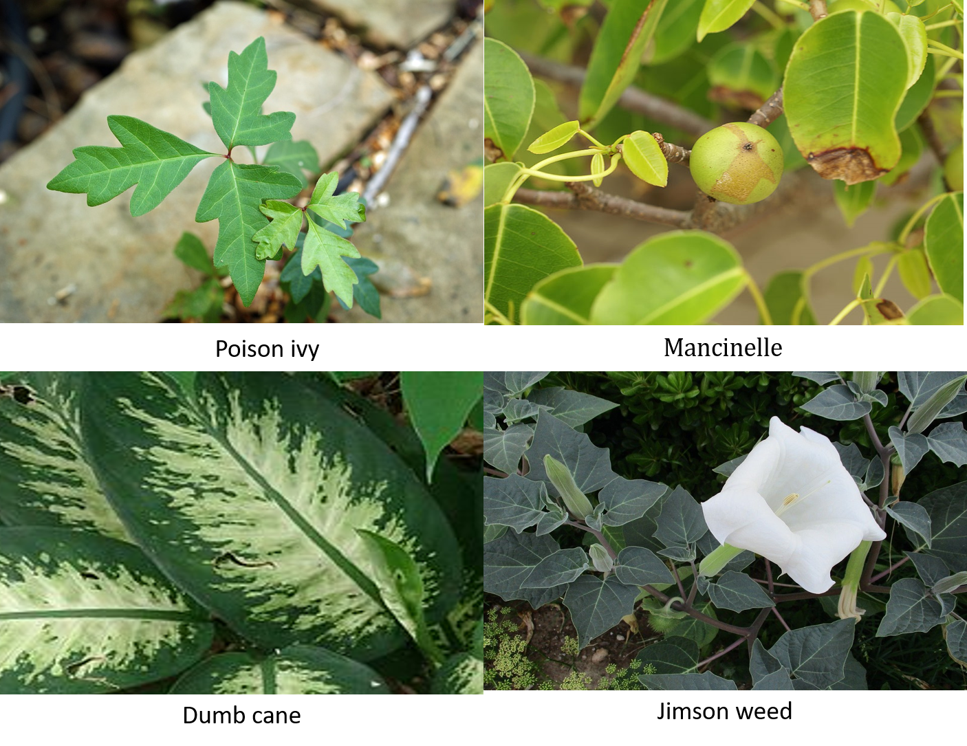 Image shows poisonous or inedible plants including poison ivy, Mancinelle, Dumb cane and Jimson weed