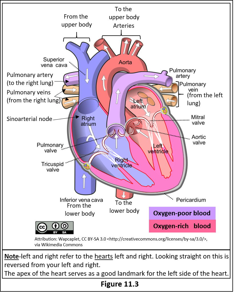 """Figure 11.3 is an anterior view of a diagram of a human heart. Image states that """"Note- left and right refer to the hearts left and right. Looking straight on this is reversed from your left and right. The apex of the heart serves as a good landmark for the left side of the heart. Areas of the heart and blood vessels carrying oxygen poor blood are shown in blue, those carrying oxygen rich blood are shown in red. The following blood vessels and parts of the heart are shown in blue; Superior vena cava, Inferior vena cava, right atria, right ventricle, pulmonary trunk. Pulmonary artery. Shown in red are the pulmonary veins, left atria, left ventricle, and the aorta. The following valves are also highlighted. The tricuspid valve (between the right atria and right ventricle) the pulmonary semilunar valve (between the right ventricle and pulmonary trunk) the mitral (bicuspid) valve (between the left atria and left ventricle) and the aortic semilunar valve (between the left ventricle and the aorta)."""