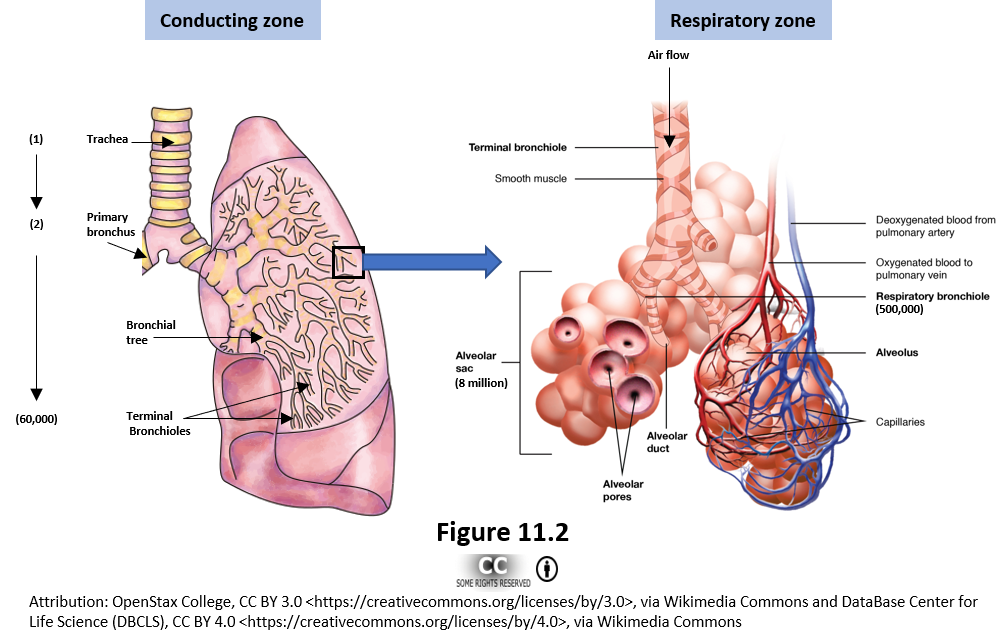 Figure 11.2 depicts the structures of the conducting zone and the respiratory zone. The conduction zone image includes the trachea, primary bronchus, and bronchioles. The respiratory zone image includes the alveolar ducts and the alveoli surrounded by a bed of capillaries.