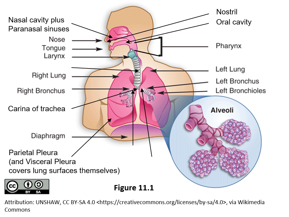 Figure 11.1 Image of the major organs of the respiratory system. Highlighted are the Nasal cavity plus paranasal sinuses, the nose, tongue, the large larynx at the top of the trachea, the trachea surrounded by rings of cartilage. The right lung with its three lobes and the left lung with its two lobes. Branching off the trachea are the left and right bronchi which branch inside the lungs into smaller bronchioles. Enlarged is a set of three grape-like clusters called alveoli.