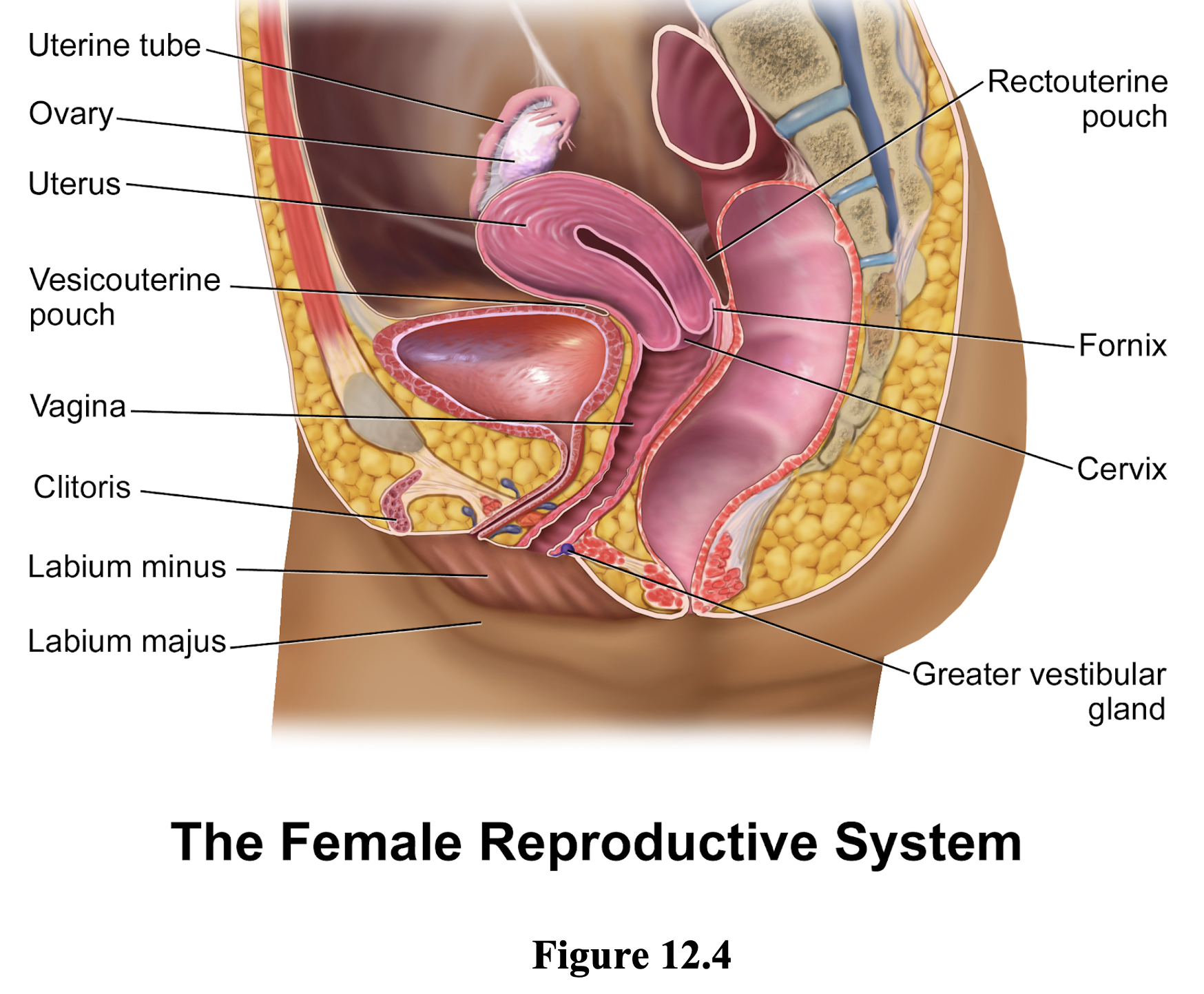 Figure 12.4 shows a lateral view of the female  reproductive systems. Highlighted is the Uterine (fallopian) tube connecting the ovary to the uterus. The small ovary (the organ where eggs are produced). The thick-walled uterus attached to the uterine (fallopian) tube and the vagina. The vagina, tube between the uterus and outside the body. The external female genitalia including labium minus and labium majus. And, the cervix, the opening between the uterus and the vagina.
