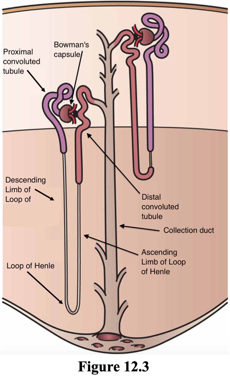 Figure 12.3 highlights the 3 main parts of a nephron; 1) The glomerulus, a ball of capillaries that bring blood to be filtered to the renal tubules: located in the cortex. 2) The Bowman's capsule, the cup-shaped structure which surrounds the glomerulus and receives the filtrate from the glomerulus. 3) The renal tubules, including the convoluted tubules (proximal and distal) and the Loop of Henle, where nutrients are selectively reabsorbed into the blood while wastes are left behind in collecting tubules for eventual excretion as urine.  •  Bowman's capsule is the start of the renal tubules. It encases glomerulus and is located in the cortex • The proximal convoluted tubule is the coiled first section of the renal tubules and is located in the cortex.  •  The Loop of Henle is the straight section of renal tubules that dip down via the descending loop of Henle, into the medulla and then back up, via the ascending loop of Henle, into the cortex. • The distal convoluted tubule is the coiled third section if the renal tubules also located in the cortex. • The collecting ducts receive urine from the renal tubules.  • The Peritubular capillary network is a network of capillaries that surround renal tubules and aid in absorption and secretion of substances to adjust the contents of the urine and the blood.