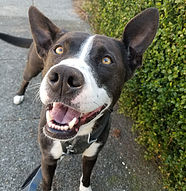 close up of brown and white dog smiling with open mouth