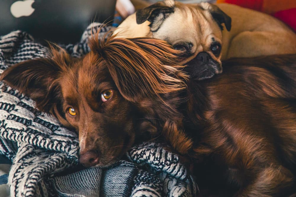 Two cute dogs cuddling with each other