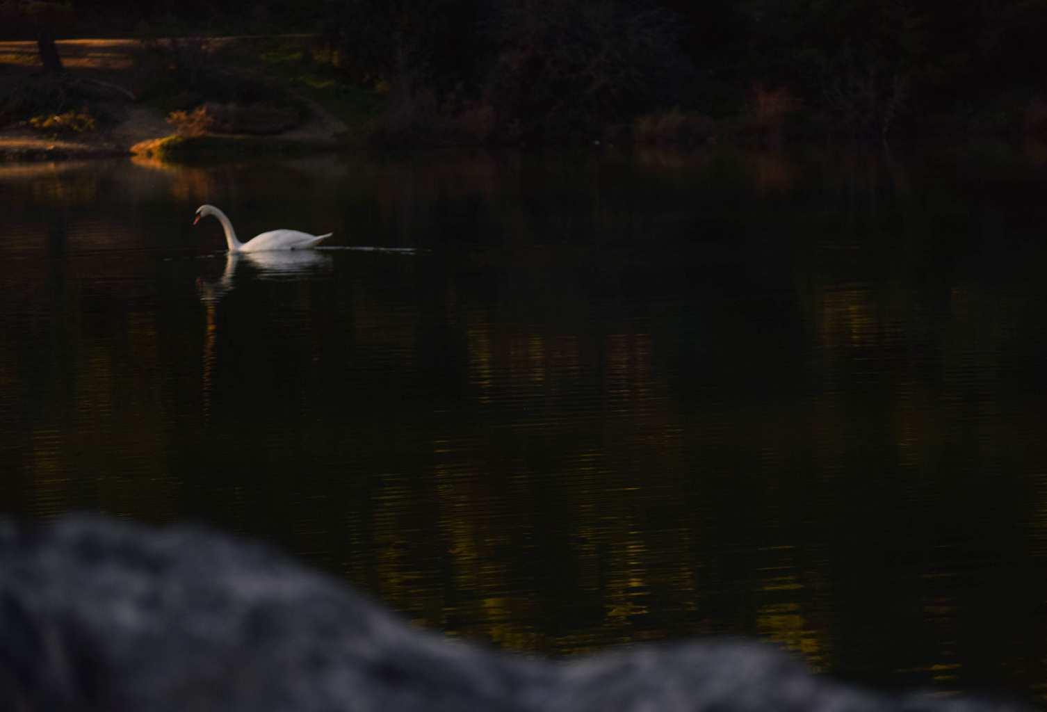 Konstantis Alexopoulos - Silver Swan