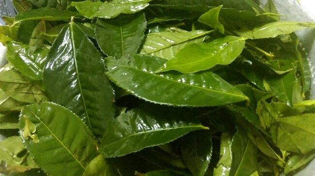 Cách chữa bé bị hăm tã nặng bằng lá trà xanh