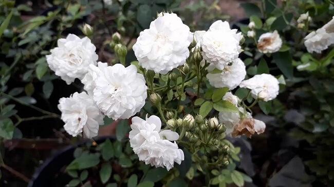 Hoa hồng bạch trị ho