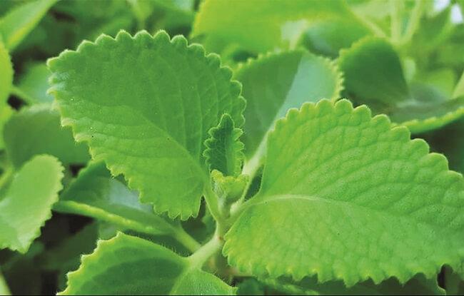 Lá húng tây có tác dụng làm vỡ và loại bỏ chất nhầy trong cổ họng