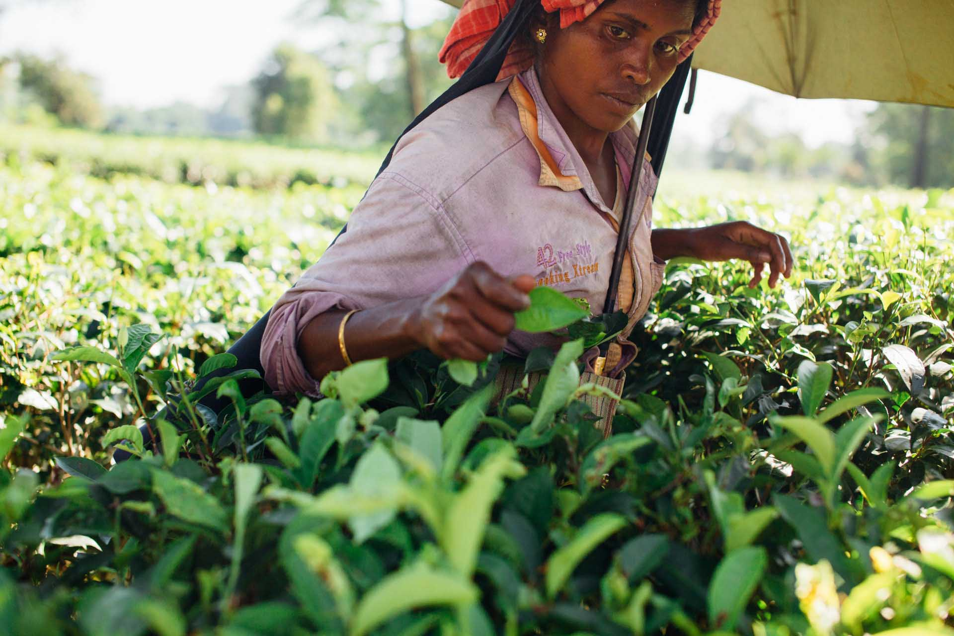 Image of field worker picking tea leaves