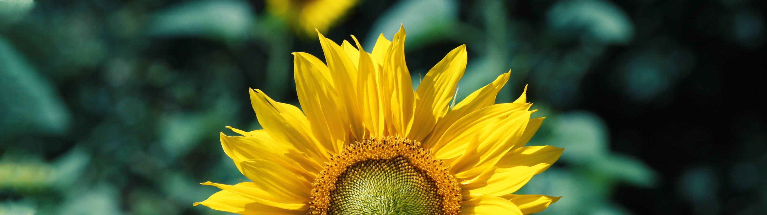 image of a sunflower