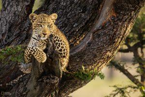 Joubert Leopard
