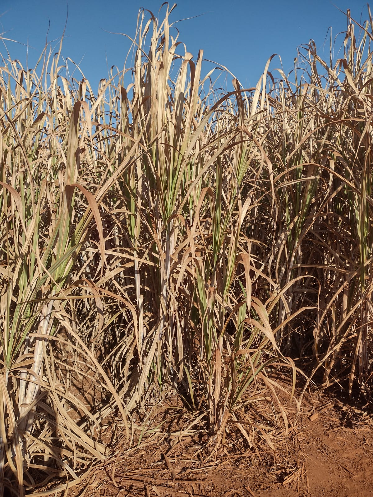 Dry sugarcane due to frost