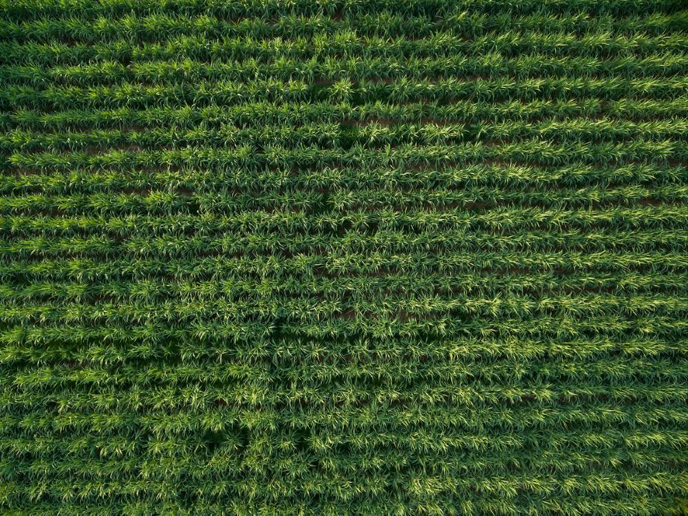 A large sugarcane field from above in Brazil, a crop of focus for our CaneFit solution