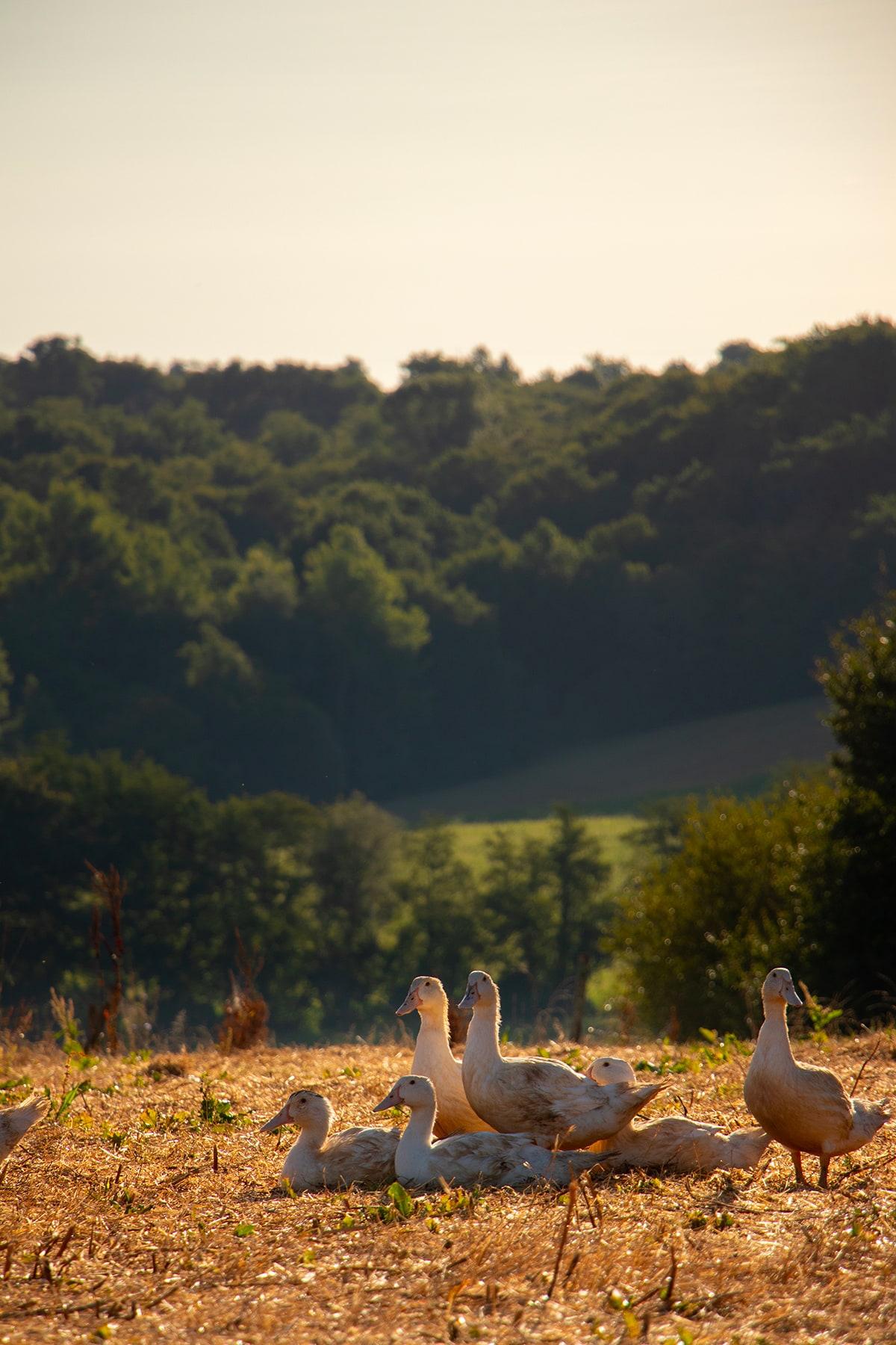 canards dans un champs