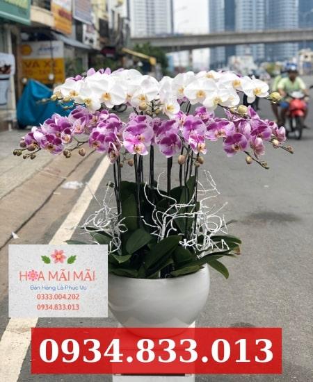 Đặt chậu lan hồ điệp Ninh Thuận