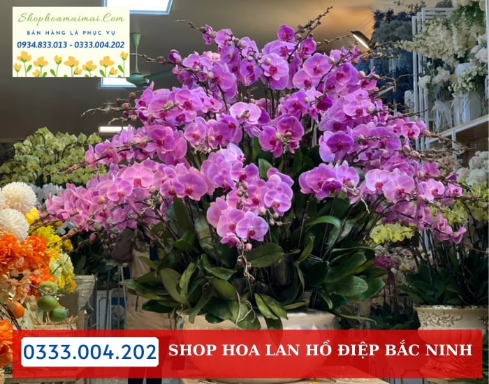 Mua Hoa Lan Hồ Điệp Chưng Tết Tại Bắc Ninh