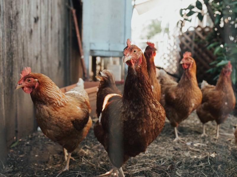 Eleveur de 170000 poules pondeuses dont 24000 en plein air. Equipé de 2 Turb'O electrolyseur.